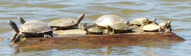 Lake Ethyl with Turtles